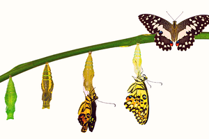 Metamorphosis of a yellow butterfly