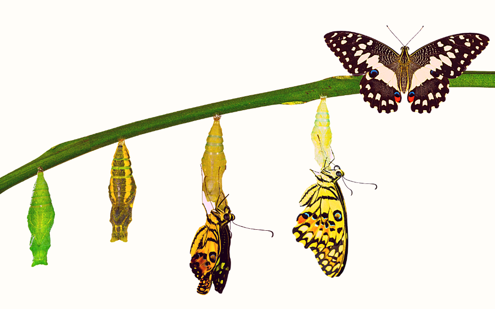 Metamorphosis of a butterfly