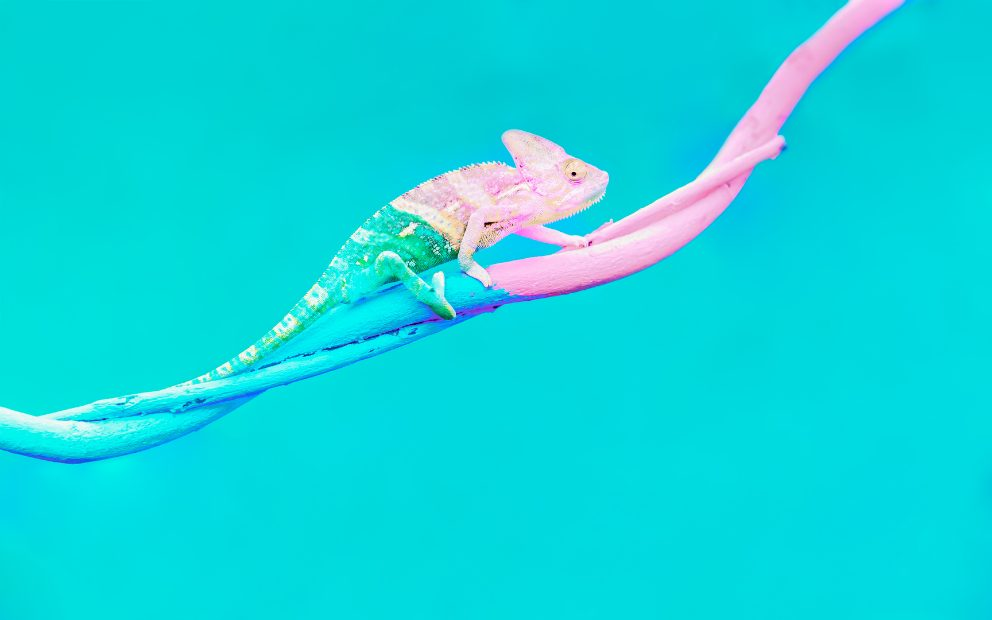 Blue and pink chameleon blending with environment